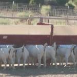 Goat Fence Line Feeder