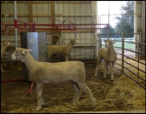 Lamb & Goat Walker - Ketcham's Sheep Equipment Ketcham's