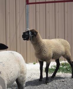 Lamb Walker